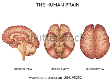 Human brain detailed anatomy from different views, inferior view, superior view and sagittal view. - stock vector