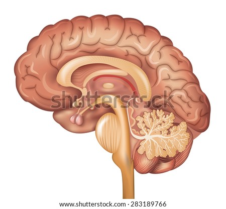 Human brain, detailed illustration. Beautiful colorful design, isolated on a white background. - stock vector