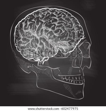 Human Brain Head Anatomy Vector Vintage Stock Vector 602477975 ...