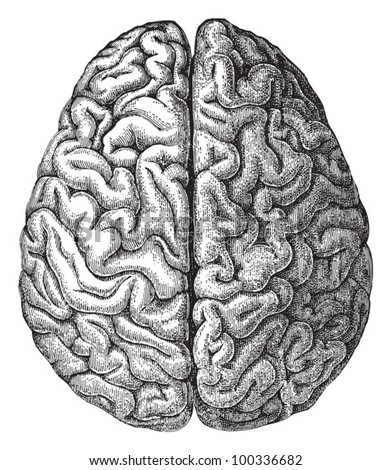 Human brain / vintage illustration from Meyers Konversations-Lexikon 1897 - stock vector