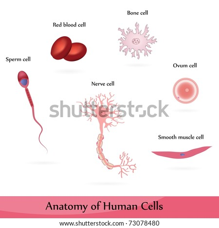 Human cells. Anatomy of muscle, bone, nerve, blood, sperm and ovum cells. - stock vector