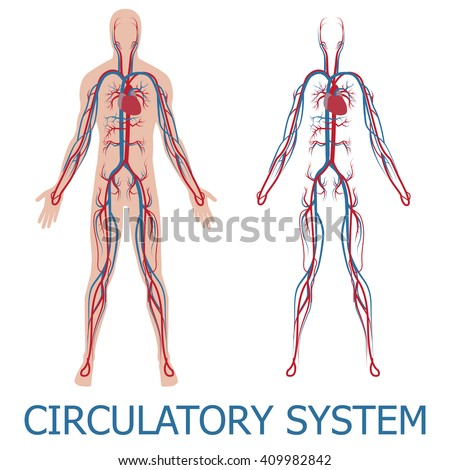 human circulatory system. vector illustration of blood circulation in human body - stock vector