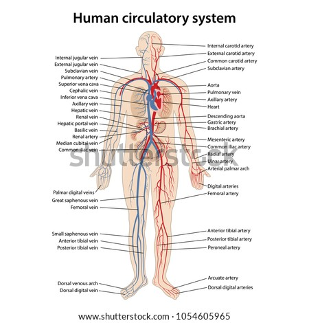 Human Circulatory System Main Parts Labeled Stock Vector 1054605965 ...