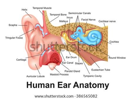 Human ear detailed anatomy stock vector 386565082 shutterstock human ear detailed anatomy ccuart Images