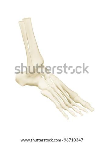 Human foot bones anatomy - stock vector