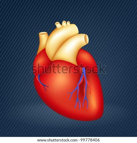Human Heart - stock vector