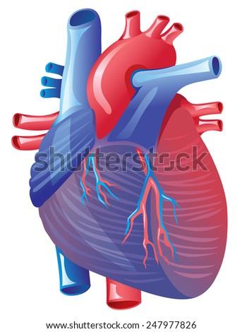 Human Heart Anatomy - stock vector