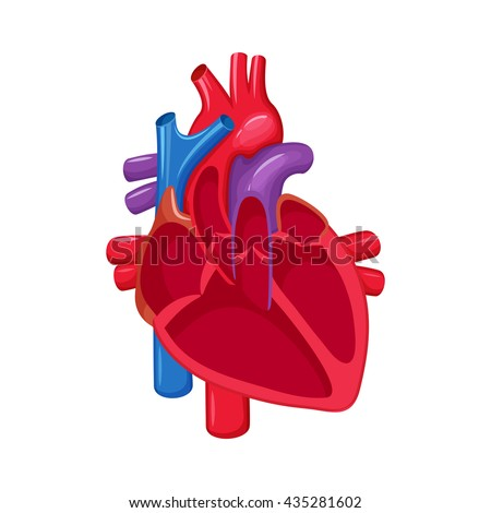 Human heart anatomy. Heart medical science vector illustration. Internal human organ: atrium and ventricle, aorta, pulmonary trunk, valve and vein. Human heart anatomy education illustration - stock vector