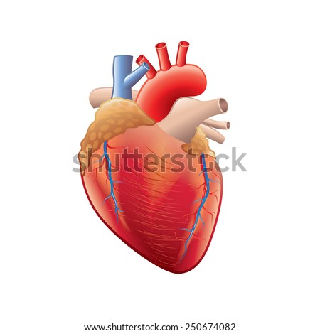 Human heart anatomy isolated on white photo-realistic vector illustration - stock vector