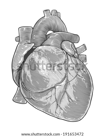 Human heart in vintage engraving style.   Vector illustration, isolated, grouped, transparent background - stock vector