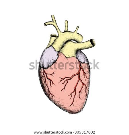 Human Heart Internal Organs Anatomy Stock Stock Vector 305317802 ...