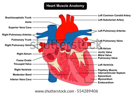 vector illustration diagram human heart anatomy stock vector, Muscles