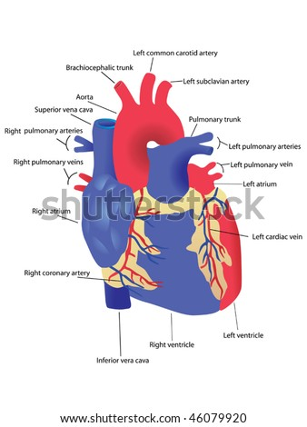 human heart vector - stock vector
