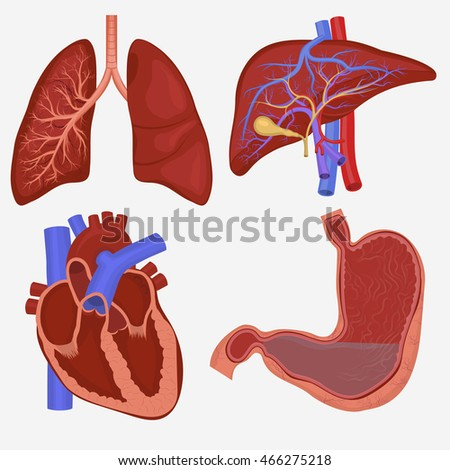 Human internal organs set lungs liver stock vector 466275218 human internal organs set lungs liver stomach and heart anatomy vector illustration ccuart Gallery