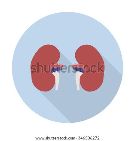 human kidneys. vector illustration - stock vector