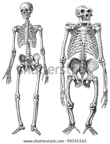 human left gorilla right skeleton vintage stock vector 98545565, Skeleton