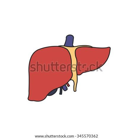 human liver. vector illustration - stock vector