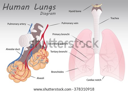 Human lungs diagram example electrical wiring diagram human lungs diagram stock vector 378310918 shutterstock rh shutterstock com human body diagram lungs diagram human ccuart Gallery