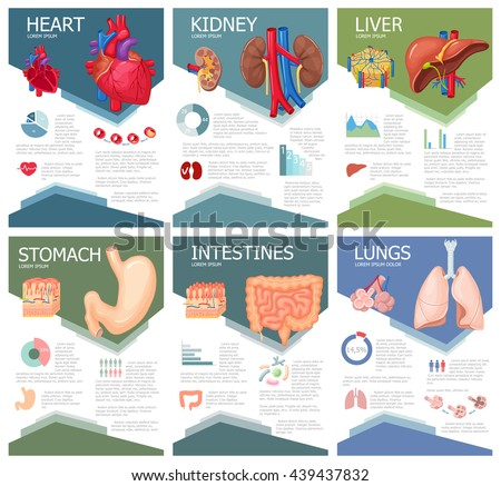 Human organ anatomy infographic poster with chart, diagram and icon. Kidney, lung, liver, heart, stomach, intestine anatomy medical science infographic, chart, diagram. Anatomy infographic brochure - stock vector