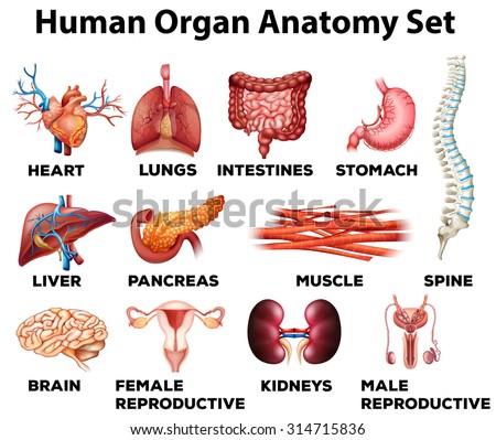 Human organ anatomy set illustration - stock vector