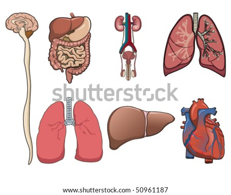 Human organ consist of brain, lung, heart, digestive system and kidney in vector - stock vector