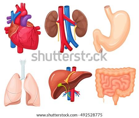 Human Organs Anatomy Heart Lungs Kidney Stock Vector 492528775 ...