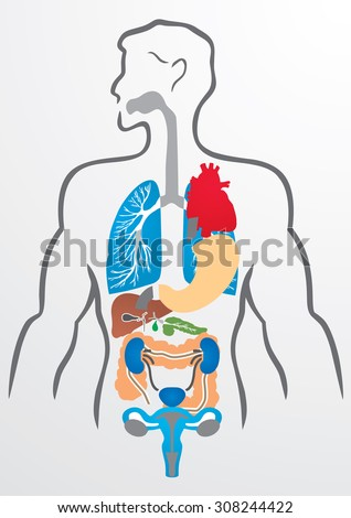 Human organs and human body - Illustration - stock vector