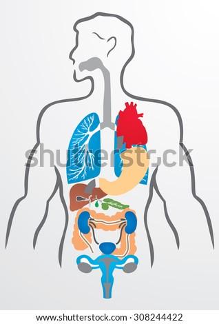 Human Organs Human Body Illustration Stock Vector 308244422 ...