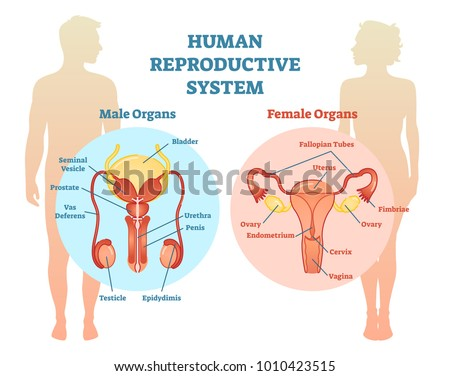 Human Reproductive System Vector Illustration Diagram Stock Vector