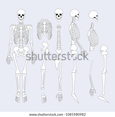 Human Skeletal System Parts Sternum Ribs Stock Vector 1085980982 ...