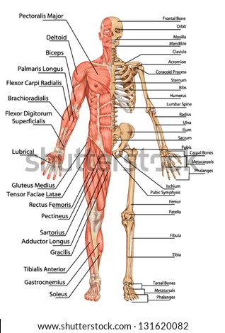 Human Skeleton Anterior View Didactic Board Stock Vector (Royalty ...