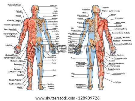 human anatomy stock images, royalty-free images & vectors, Human Body