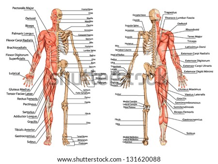 Human Skeleton Posterior Anterior View Didactic Stock Photo Photo