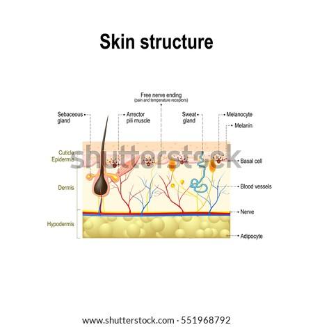Human Skin Cell Diagram Merkel Cell Wikipedia