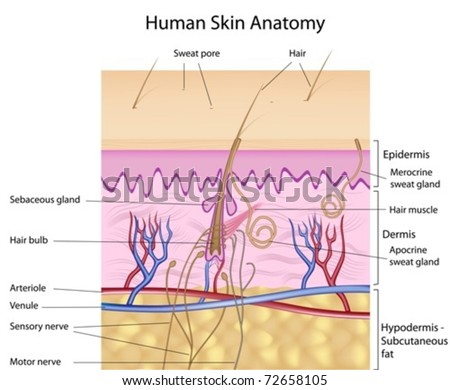 Human skin cross-section, labeled - stock vector