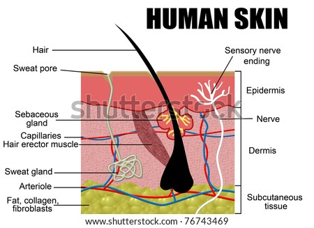 Human Skin Cross-Section, vector illustration - Useful for Education, Hospitals and Clinics - stock vector
