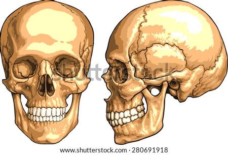 human skull stock vector 280691918 - shutterstock, Human Body