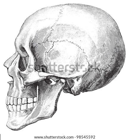 Human skull / vintage illustrations from Die Frau als Hausarztin 1911 - stock vector