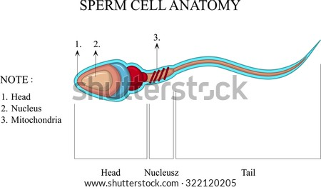 Sperm cell diagram creation diy wiring diagrams human sperm cell anatomy stock vector 322120205 shutterstock rh shutterstock com human cell structure diagram sperm ccuart Images