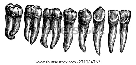 Human teeth, vintage engraved illustration. La Vie dans la nature, 1890. - stock vector