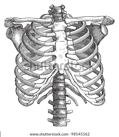 Human thorax / vintage illustrations from Die Frau als Hausarztin 1911 - stock vector