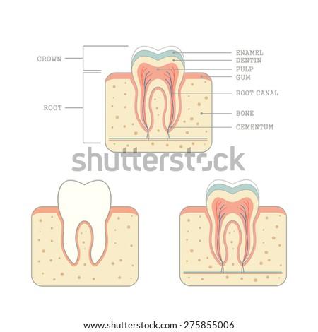 human tooth anatomy, medical teeth illustration  - stock vector