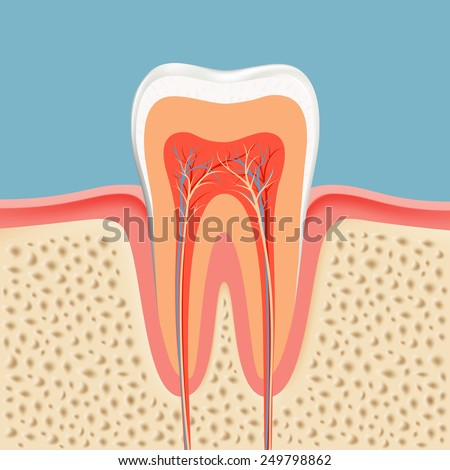 human tooth in a cut - stock vector