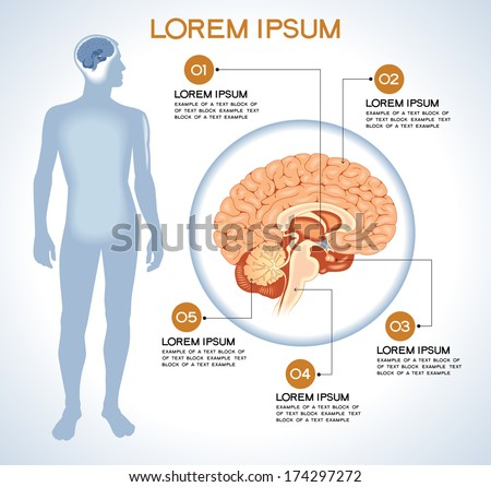Hypothalamus. Modern medical infographics. Internal organs in a human body. Anatomy of people - stock vector