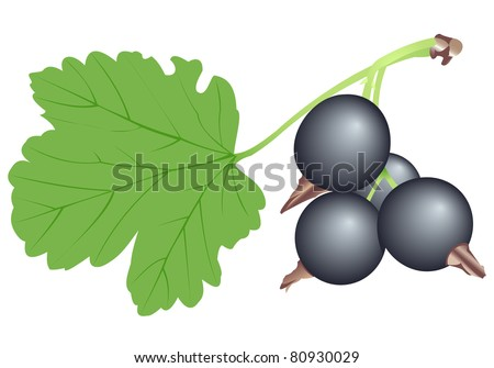 Illustration of a branch of a black currant - stock vector