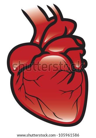 Illustration of a human heart. Eps 10 Vector. - stock vector