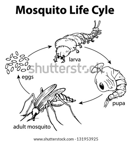illustration mosquito life cycle stock vector 131953925