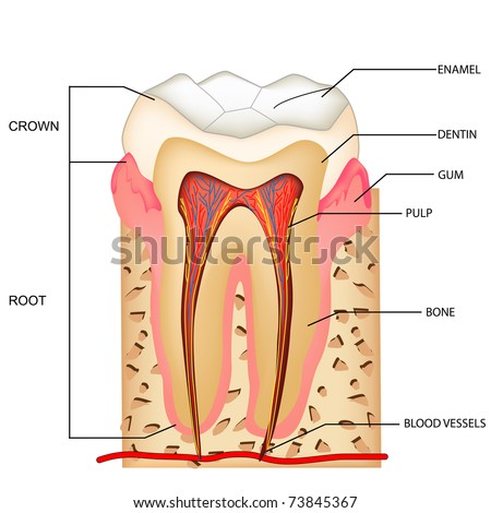 illustration of anatomy of teeth with labeling