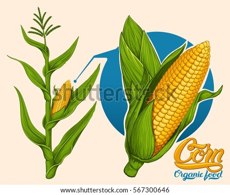 Corn stalk stock images royalty free images vectors shutterstock illustration of corn stalk sciox Choice Image
