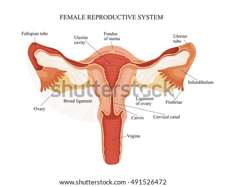 Illustration Female Reproductive System Human Anatomy Vector de ...